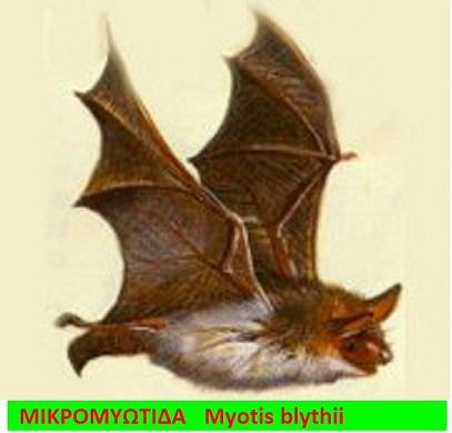 5 16 Lesser_Mouse-Eared_Bat