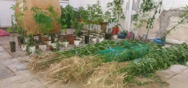Εντοπίστηκε φυτεία δενδρυλλίων κάνναβης σε περιοχή της Φλώρινας (pics)