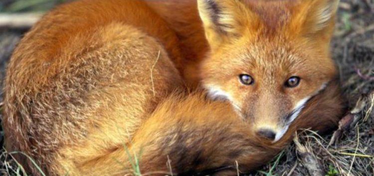 Πρόγραμμα εμβολιασμού κατά της λύσσας των κόκκινων αλεπούδων