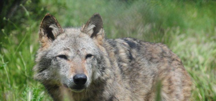 Τρεις απώλειες για τους λύκους του Αρκτούρου