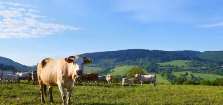 Πωλούνται αγελάδες