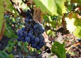 Αιτήσεις αδειών νέων φυτεύσεων αμπέλου με οινοποιήσιμες ποικιλίες για το έτος 2021