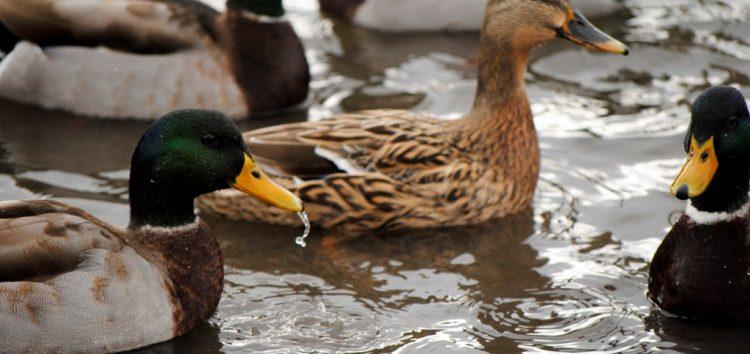 Ο δήμος Πρεσπών για τα κρούσματα της γρίπης των πτηνών
