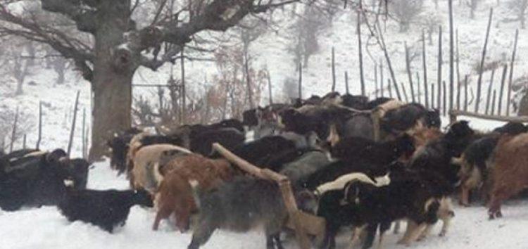Η Πανελλαδική Επιτροπή Μπλόκων για τις μεγάλες ζημιές στην κτηνοτροφία από τα χιόνια και τον παγετό