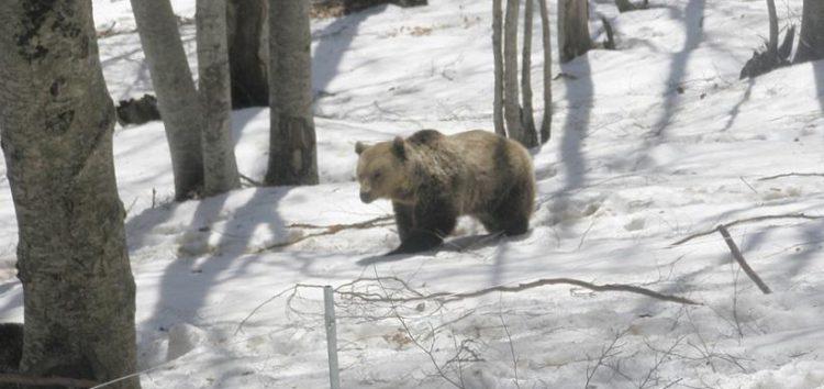 Έπεσαν για ύπνο οι αρκούδες στο Νυμφαίο