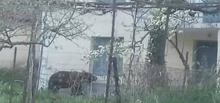 Η «Μάρω», η αρκούδα κατεβαίνει στα σπίτια στη Φλώρινα – Ψυχραιμία συνιστά ο Αρκτούρος