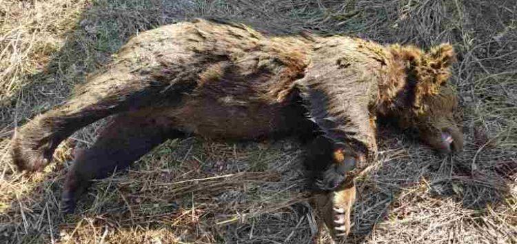 Νεκρή αρκούδα στη Φλώρινα, πιθανότατα δηλητηριασμένη