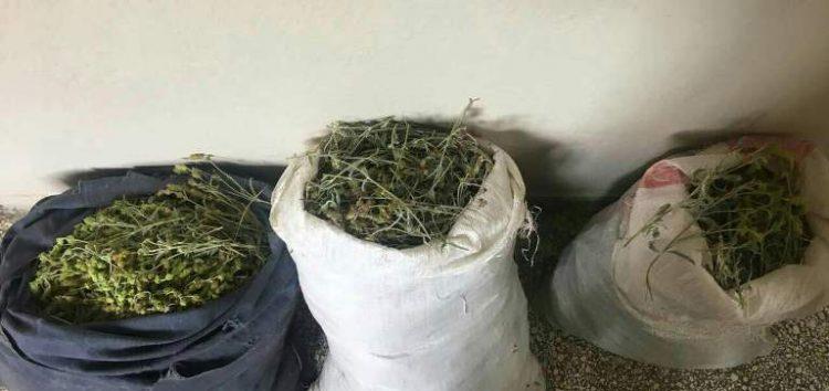 Συνελήφθησαν δυο αλλοδαποί στην Κρυσταλλοπηγή που είχαν συλλέξει 25 κιλά τσάι βουνού