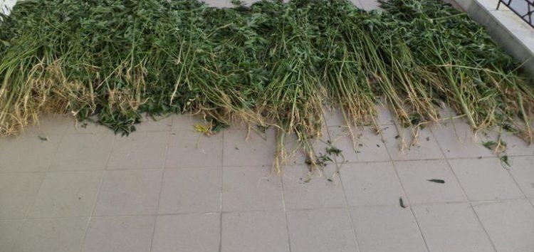 Εντοπίστηκαν και κατασχεθήκαν 1.650 δενδρύλλια κάνναβης σε περιοχή της Φλώρινας