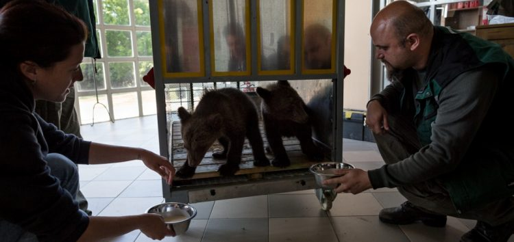Σωτηρία από τον Αρκτούρο για δύο ορφανά αρκουδάκια από το Μαυροβούνιο (video, pics)
