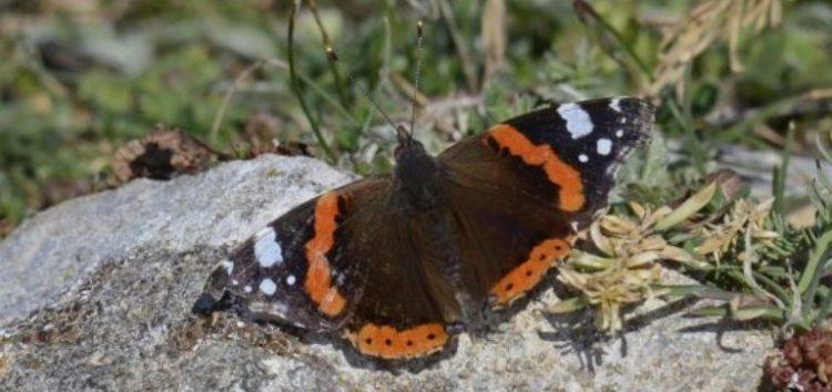 Στις Πρέσπες μία από τις μεγαλύτερες συγκεντρώσεις πεταλούδων στην Ευρώπη