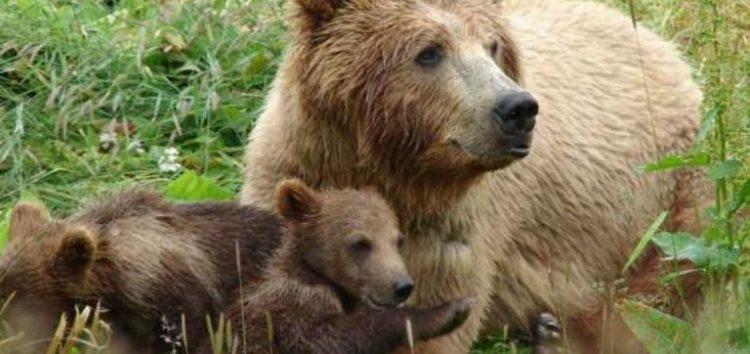 Λήψη προληπτικών μέτρων και αποφυγής περιστατικών αλληλεπίδρασης ανθρώπου – αρκούδας