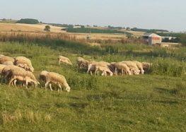 Πωλούνται πρόβατα