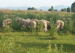 Πωλούνται πρόβατα, αρνιά, κριάρια και άλογα