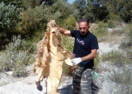 Η Ομάδα Άμεσης Επέμβασης του Αρκτούρου βρήκε κατεργασμένο δέρμα αρκούδας