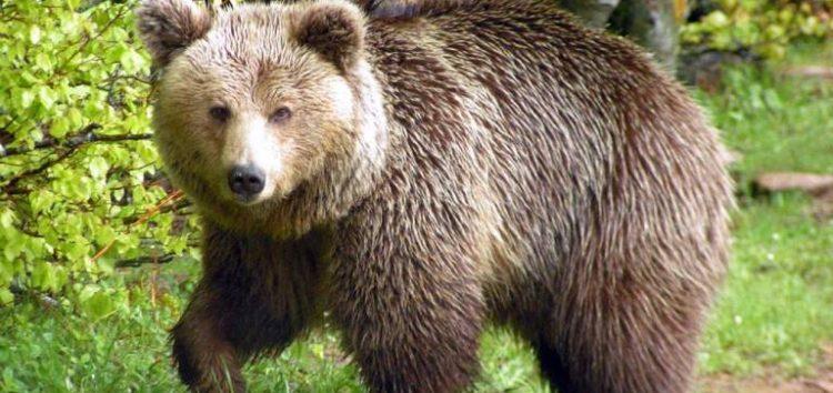 Εκτός κινδύνου ο 53χρονος κυνηγός που του επιτέθηκε αρκούδα – Υποβλήθηκε σε πολύωρη χειρουργική επέμβαση