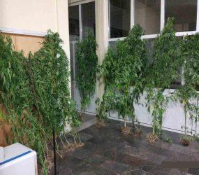 Συνελήφθη 50χρονος σε περιοχή της Φλώρινας για καλλιέργεια 18 δενδρυλλίων κάνναβης