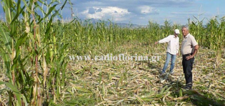 «Πάρτυ» σε καλλιεργούμενες εκτάσεις με καλαμπόκι κάνουν τα αγριογούρουνα στην Κλαδοράχη (video, pics)