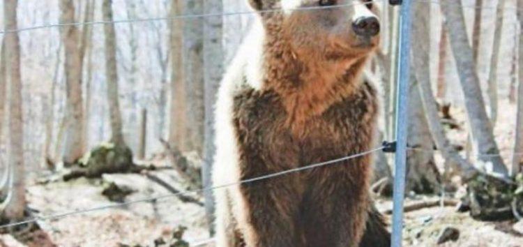 Ηλεκτροφόρες περιφράξεις σε περιοχές του δήμου Αμυνταίου όπου παρουσιάστηκαν περιστατικά προσέγγισης αρκούδας