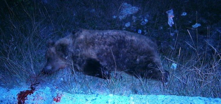 Νεκρή αρκούδα σε τροχαίο ατύχημα στο Κλειδί – 13 τροχαία στην ίδια περιοχή από το 2003 (pics)