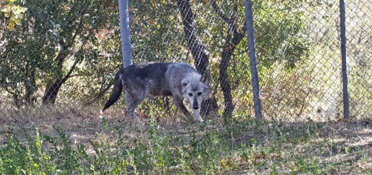 Δύο πρώην αιχμάλωτοι λύκοι μεταφέρθηκαν στον «Αρκτούρο»