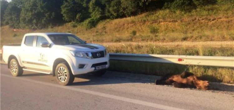 Εξέπνευσε κατά τη μεταφορά στη Θεσσαλονίκη αρκούδα που τραυματίστηκε σε τροχαίο στον Αετό