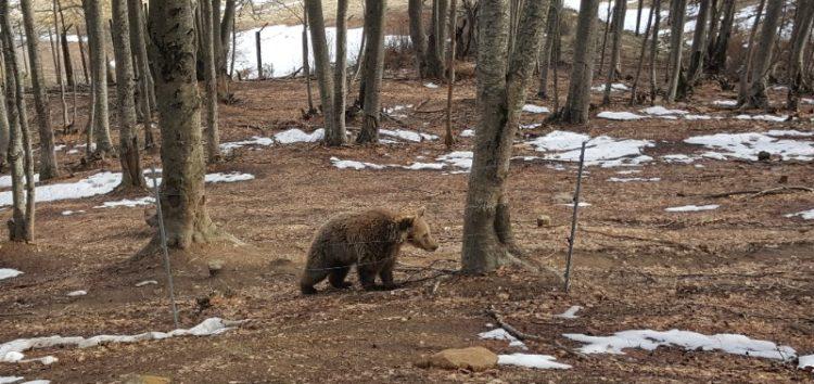 Ξύπνησαν οι αρκούδες στο Νυμφαίο και μας φέρνουν την άνοιξη (video, pics)