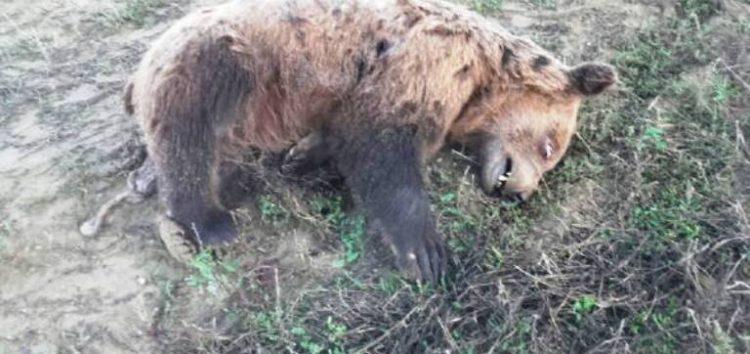 Νεκρό αρκουδάκι εντοπίστηκε στο ύψος της τοποθεσίας «Κλειδί» Αμυνταίου