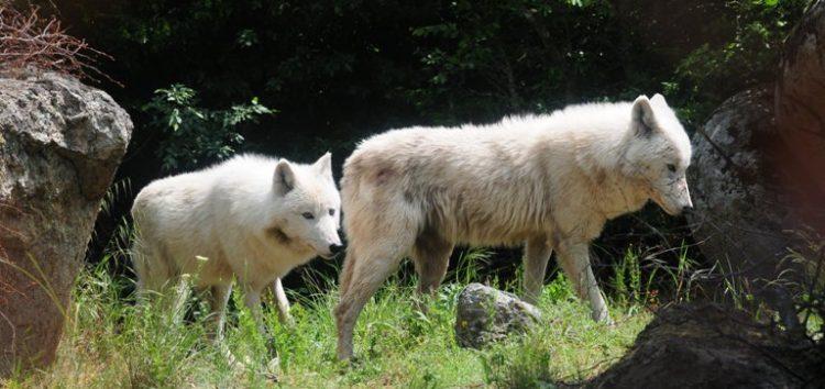 Μία αγέλη έξι λύκων από την Ιταλία στο Καταφύγιο του Αρκτούρου (video, pics)
