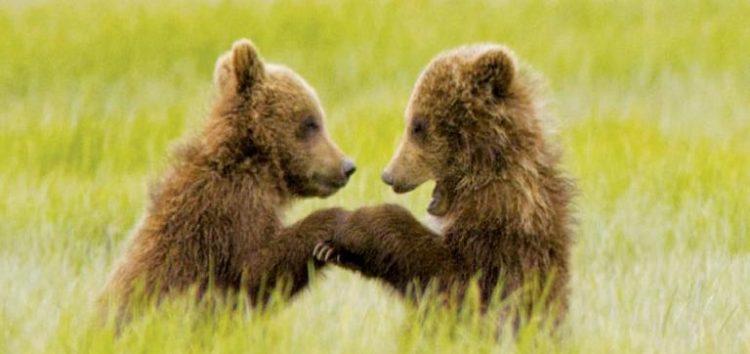 Εντοπισμός δύο αρκούδων νεαρής ηλικίας στο φράγμα Τριανταφυλλιάς