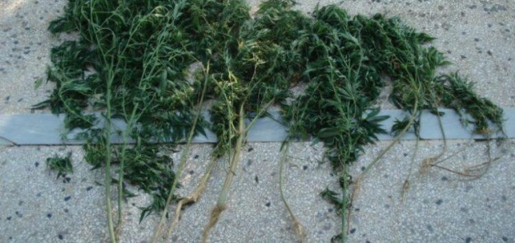 Σύλληψη 60χρονου σε περιοχή της Φλώρινας για καλλιέργεια 12 δενδρυλλίων κάνναβης