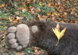 Νεκρή αρκούδα σε πλήρη αποσύνθεση βρέθηκε στο Βροντερό