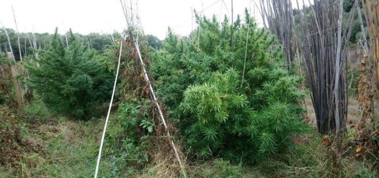 Συνελήφθη 48χρονος στη Χαλκιδική, από άνδρες του Τ.Σ.Φ. Κρυσταλλοπηγής, για καλλιέργεια δενδρυλλίων κάνναβης και διακίνηση ναρκωτικών ουσιών (pics)