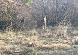 Ο Αρκτούρος έσωσε δύο ακόμη λύκους από την αιχμαλωσία στην Σερβία