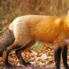 Αξιολόγηση της αποτελεσματικότητας των εμβολιασμών της άγριας πανίδας κατά της λύσσας (κυρίως των κόκκινων αλεπούδων)