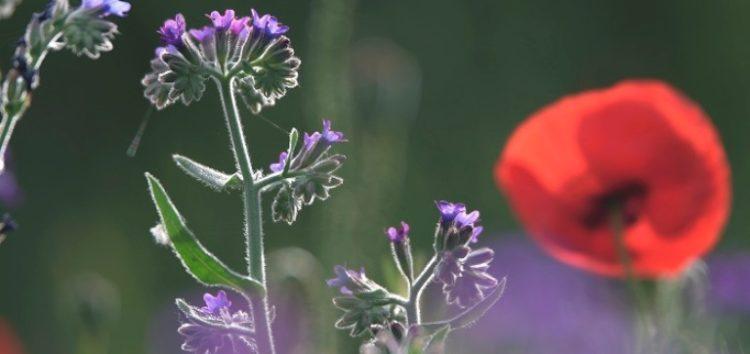 Μνήμες των κατοίκων για τη χρήση των φυτών περιλαμβάνει το ημερολόγιο της Εταιρίας Προστασίας Πρεσπών