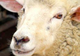 Το πρόβατο (της στάνης)