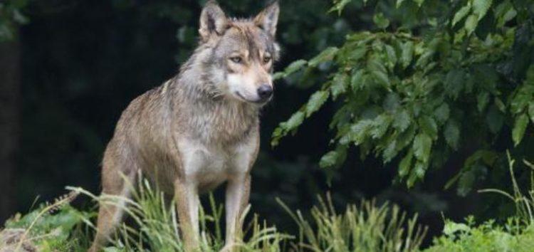 Ανακοίνωση της Αποκεντρωμένης Διοίκησης Ηπείρου – Δυτικής Μακεδονίας για τα περιστατικά εμφάνισης λύκων στη Φλώρινα