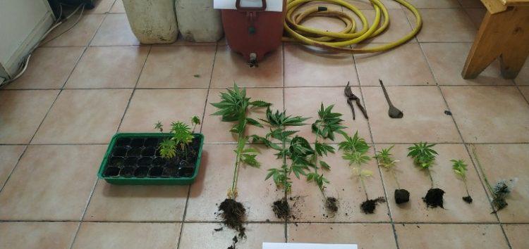 Συνελήφθη 48χρονος σε περιοχή της Φλώρινας για καλλιέργεια 16 δενδρυλλίων κάνναβης