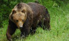 Εγκλωβισμένη αρκούδα εντοπίστηκε σε αυλή οικίας στον Άγιο Βαρθολομαίο
