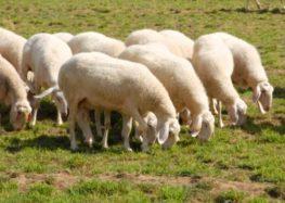 Πωλούνται πρόβατα φυλής Ασσάφ