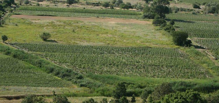 Τεράστιες ζημιές στη φασολοκαλλιέργεια των Πρεσπών (pics)