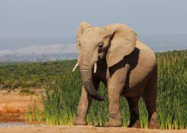 Ο «σπουδαίος» Ελέφαντας