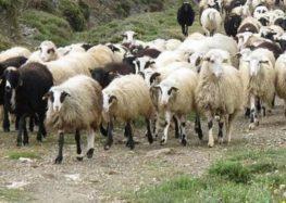 Πωλούνται αιγοπρόβατα