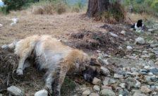 Μαζικά κρούσματα φόλας: τουλάχιστον 50 σκυλιά νεκρά στην περιοχή Αμυνταίου – Φλώρινας