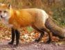 Αξιολόγηση της αποτελεσματικότητας των εμβολιασμών των κόκκινων αλεπούδων μετά την εμβολιαστική εκστρατεία του φθινοπώρου