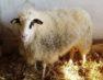 Ημερίδα με θέμα «Η εκτροφή του προβάτου φυλής Φλώρινας ως μοχλός ανάπτυξης της κτηνοτροφίας στην Δυτική Μακεδονία»