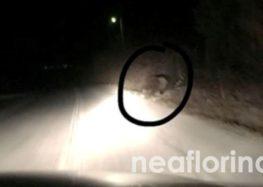 Αρκούδα εμφανίστηκε στο δρόμο Φλώρινας – Περάσματος