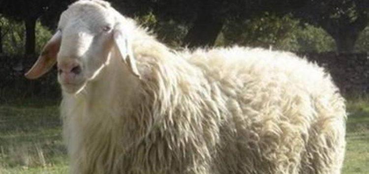 Πωλούνται 80 πρόβατα στο Σκλήθρο Φλώρινας