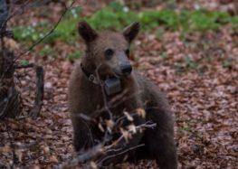 Ο Κούπερ επέστρεψε στο Διεθνές Περιβαλλοντικό Κέντρο του Αρκτούρου όπου και θα ζει στο εξής – Εντοπίστηκε στο φράγμα Τριανταφυλλιάς